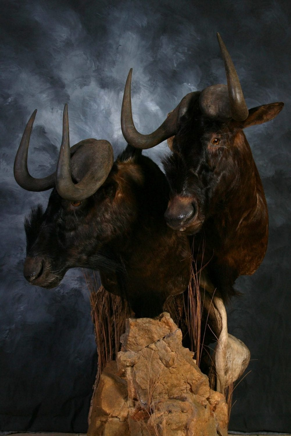 Black Wildebeest - 2013
