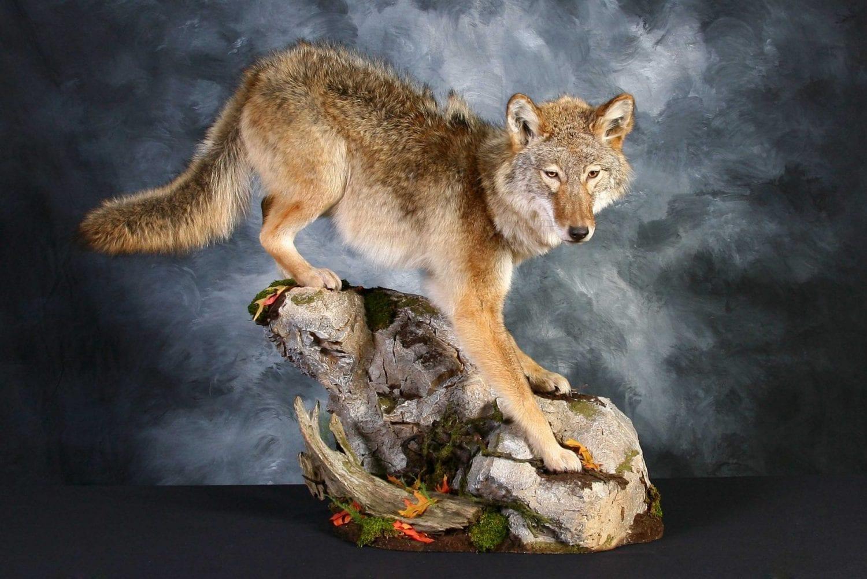 Coyote - 2013